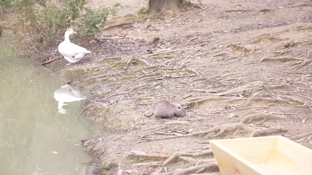myocastor : Cute wild fluffy coypus , river rat, nutria, eats bread on the river bank. 4k, slow-motion Stock Footage
