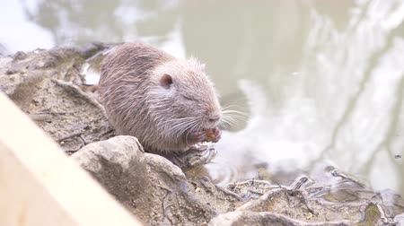 myocastor : Cute wild fluffy coypus , river rat, nutria, eats bread on the river bank. 4k, close-up, slow-motion