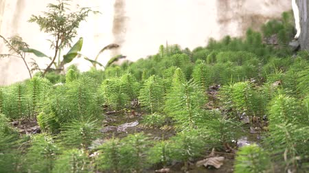 fresh green grove of Horsetails herbal stems moving with the wind, blur photo, 4k