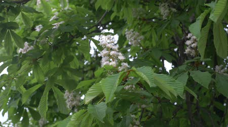 alfa : Blossoming chestnut. Beautiful flowers among young green leaves. 4k, slow motion