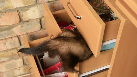climbed : Slow Motion. Ferret searching for something in a drawer.