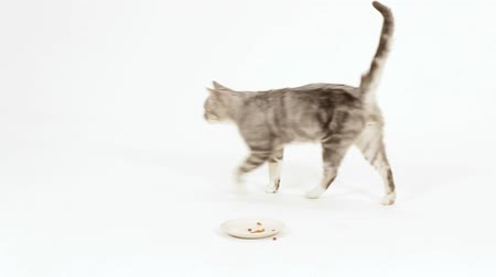 cat bowl : Funny gray cat walking back and forth.