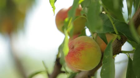 brzoskwinie : Juicy peach fruit grows on trees and leaves in the wind
