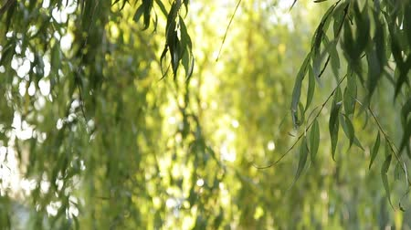 weeping : The branches of a weeping willow tree in the park