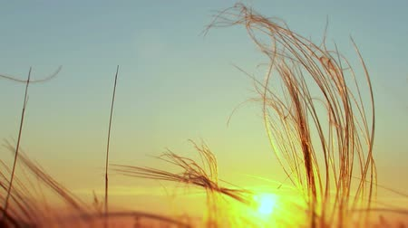 засушливый : Sunset in a valley of feather grass. Windy day. Стоковые видеозаписи