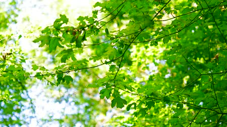 fotoszintézis : Rich green of young trees in the deciduous forest