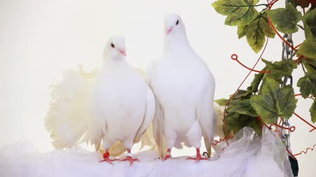 dove of peace : Two white doves sitting on a white robe. Stock Footage