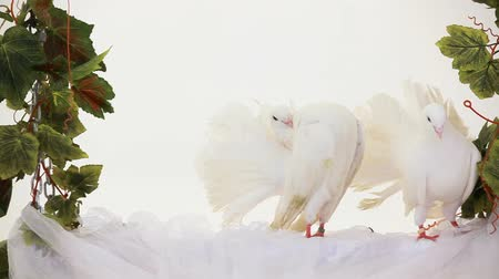 dove of peace : Two white doves fun sitting on the white sheet.