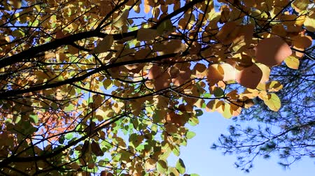 popisný : A beautiful autumn tree with yellow leaves against the blue sky. Moving camera. Slider. Dostupné videozáznamy