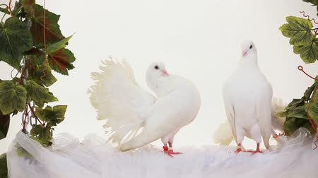 dove of peace : Two white doves sitting on a swing. Stock Footage