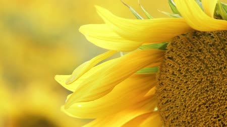 organic : The background is blurred. Blooming sunflowers closeup. Stock Footage
