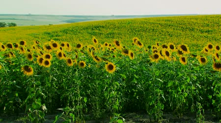girasoles : Hermoso campo de girasol del plan general. Archivo de Video