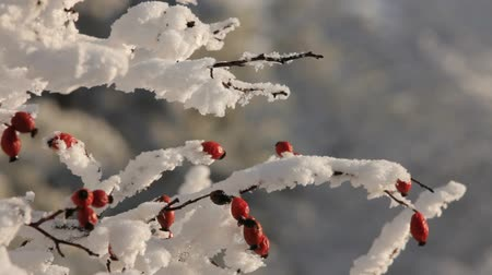 ягоды : Dogwood berries dressed in snow.