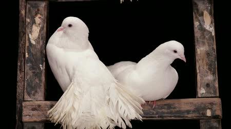 gołąb : The two white doves sitting in their house. Wideo