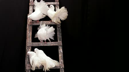 gołąb : The group of white doves sitting on a wooden ladder. Animals in captivity.