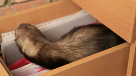 drawer : Ferret searching for something in a drawer