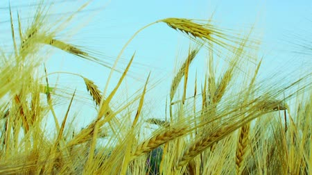 wealth : Ears of wheat quiver of the wind. Stock Footage