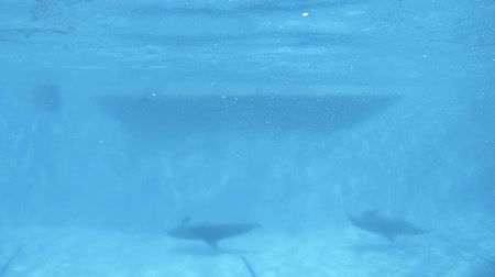 yunus : Underwater Dolphin in the pool swims past the camera. A marine animal turns sharply and swims into the distance, leaving a lot of bubbles. Stok Video