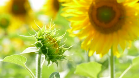 unopened bud : Unopened Sunflower Reaching To The Sun Stock Footage