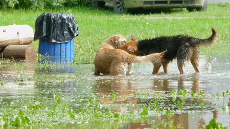 plash : two stray dogs play in the pool of the park.