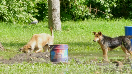 plash : Two dogs playing in a puddle in the park Stock Footage