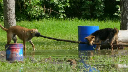 cur : two dogs are dragging one big stick