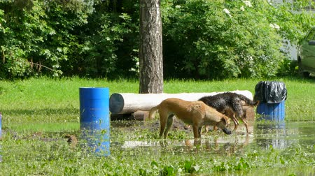 plash : Dogs are eating grass in standing in a large puddle. Stock Footage