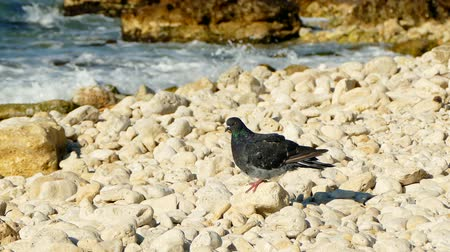 scavenger : Pigeon on the sea beach