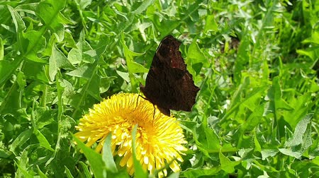 tavuskuşu : Butterfly collects nectar from dandelion flower. Movement of the proboscis. Side view Stok Video