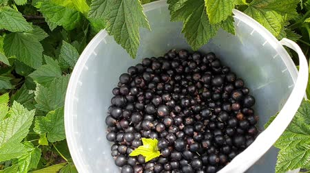 Black currant harvesting. Female hand pouring a handful of berries into bucket. Top view