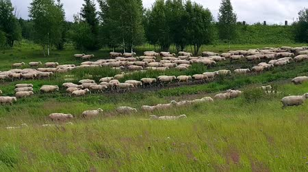 koyun : Tracking right shot of sheep herd moving across meadow