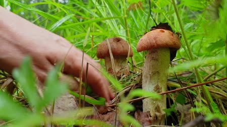 Close-up of hands clean mushrooms from leaves and cut off them with a knife. Picking mushrooms aspen (Leccinum aurantiacum) in the grass. Low angle video shoot