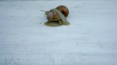 měkkýšů : two big snails time lapse moving on a grey wooden background Dostupné videozáznamy