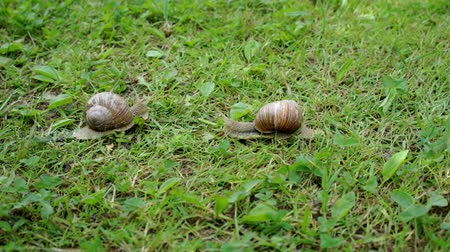 měkkýšů : two snails in the grass