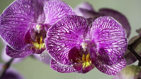 dendrobium : Orchid flowers swaying in the rain