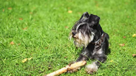 fetching : Miniature schnauzer dog laying down on the grass with a stick