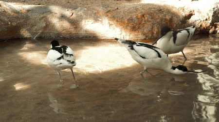 salt marsh : group of black and white avocets frolicking in the pond