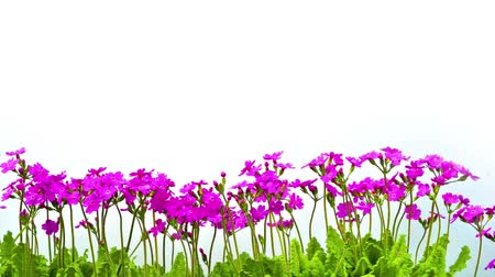 dangle : row of pink primrose flowers with leaves isolated on white background sway in the wind Stock Footage