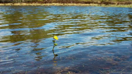 odráží : A little yellow flower on the lake. Northern plants