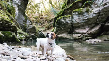 воротник : A cute dog jack russell terrier sits in a canyon by the river, 4k. Стоковые видеозаписи