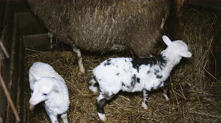 baby animal : Sheep and two small lambs stand in a stable in a haystack