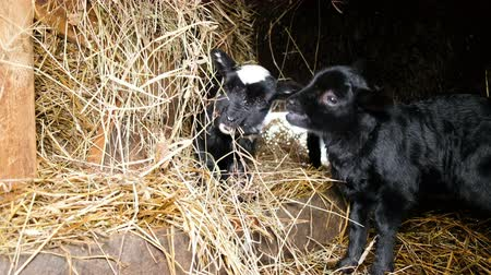 загон : Two small black lambs chew hay in a stable, 4k