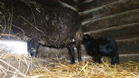 загон : Little black lamb drinking milk from the udder of the sheep in the barn, 4k