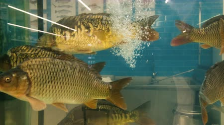 для продажи : Carp fish swimming in an aquarium in the store for sale