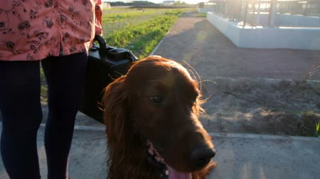safkan : Dog sits with his tongue hanging out at sunset. Pet Irish setter resting, slow motion Stok Video