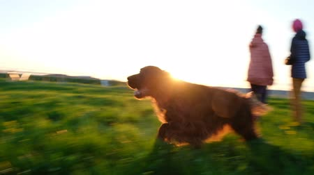 házigazda : Two dogs running on the grass at sunset