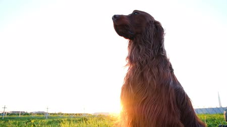 moribundo : Obedient dog sits still on the grass at sunset in the summer. Irish setter waits and looks into the distance, slow motion Vídeos