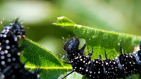 spots : Black caterpillars of peacock eyes eat green leaf, macro. Slow motion
