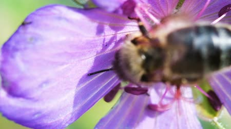 folga : Bumblebee pollinating a violet flower, close-up macro. Slow motion