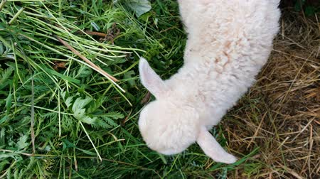 koyun : Small white lamb eats grass close up